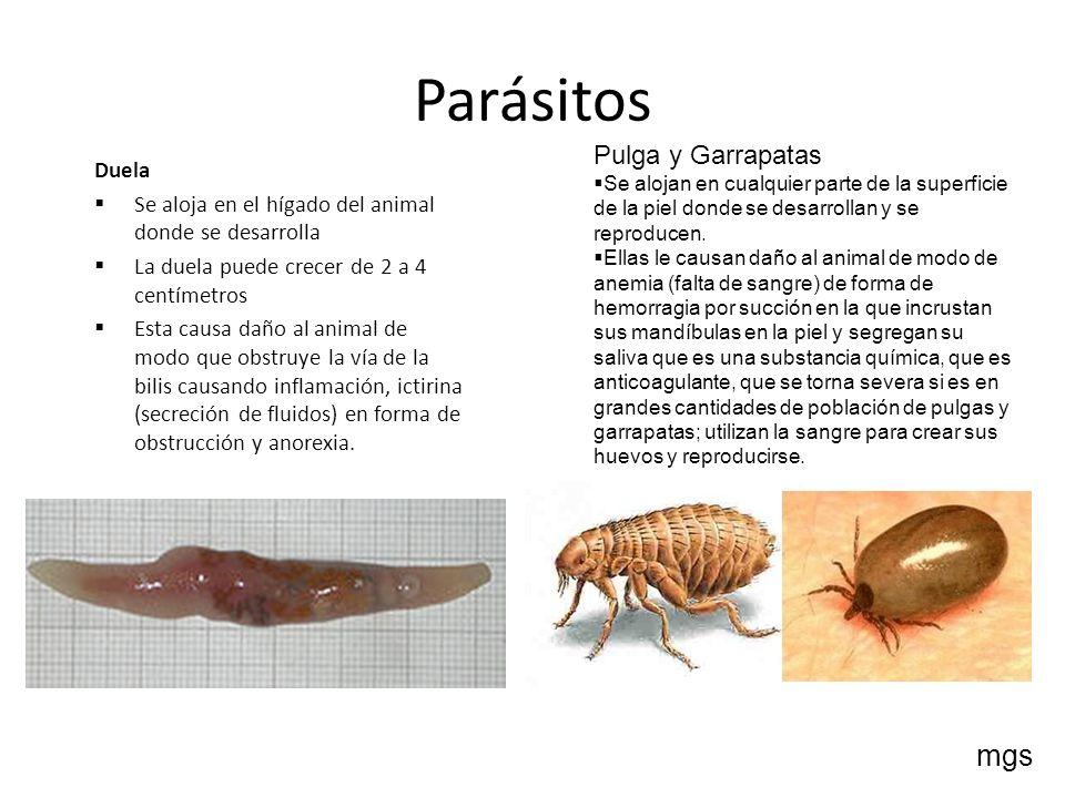 Parásitos mgs Pulga y Garrapatas Duela