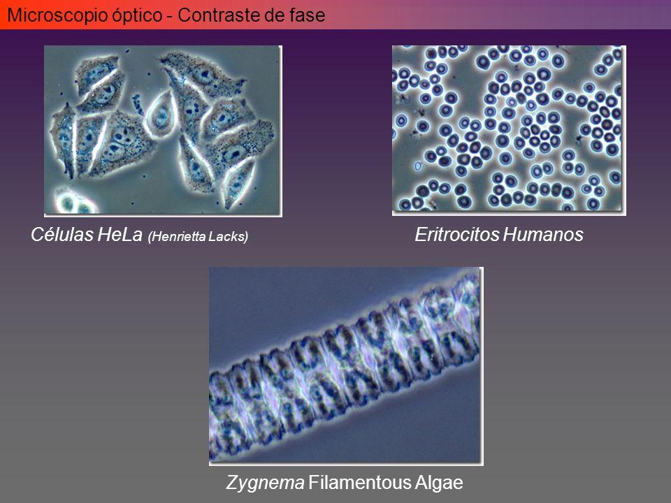 Microscopio óptico - Contraste de fase