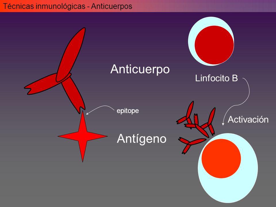 Anticuerpo Antígeno Linfocito B Activación