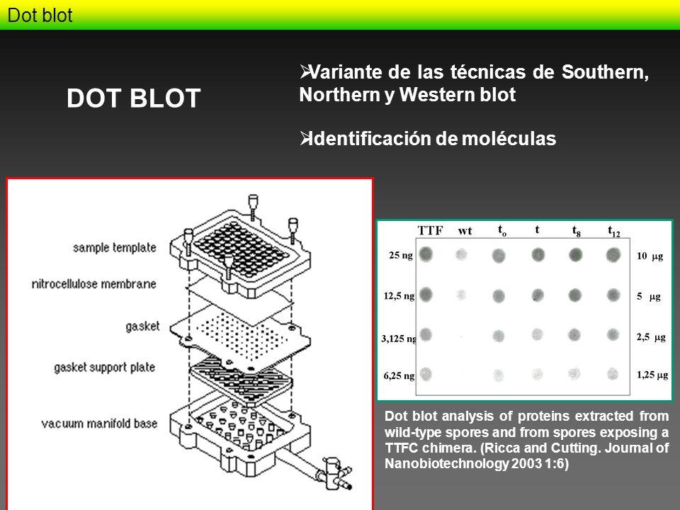 Dot blot Variante de las técnicas de Southern, Northern y Western blot. DOT BLOT. Identificación de moléculas.