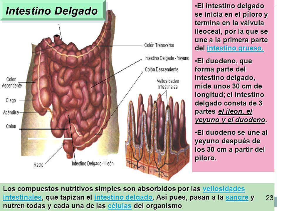 Intestino Delgado