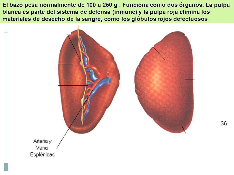 El bazo pesa normalmente de 100 a 250 g. Funciona como dos órganos