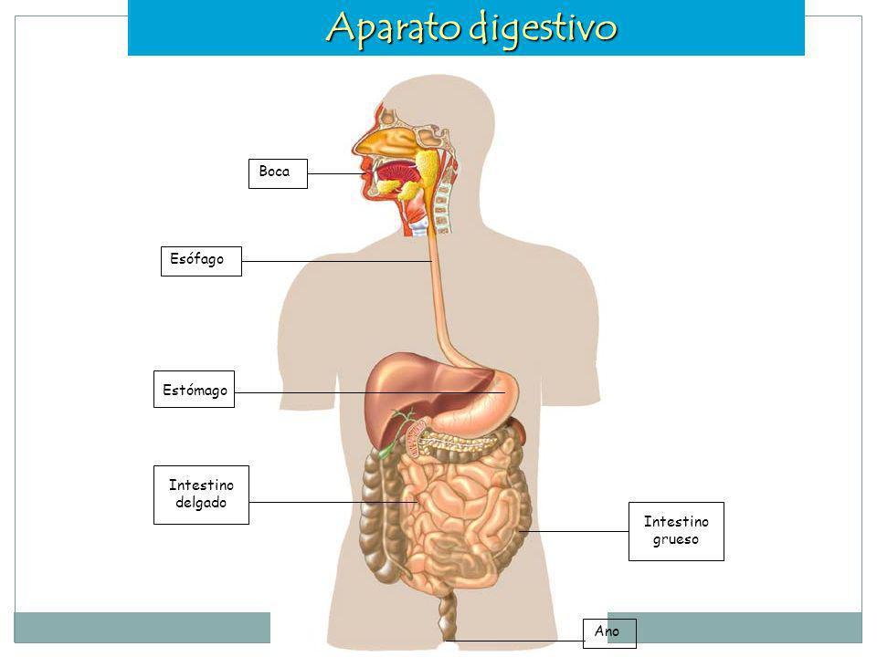 Aparato digestivo Boca Esófago Estómago Intestino delgado