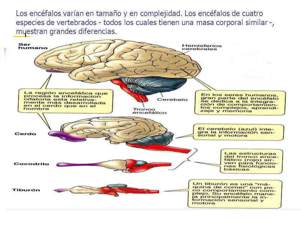 Los encéfalos varían en tamaño y en complejidad