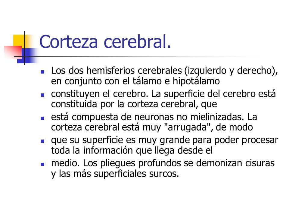 Corteza cerebral. Los dos hemisferios cerebrales (izquierdo y derecho), en conjunto con el tálamo e hipotálamo.