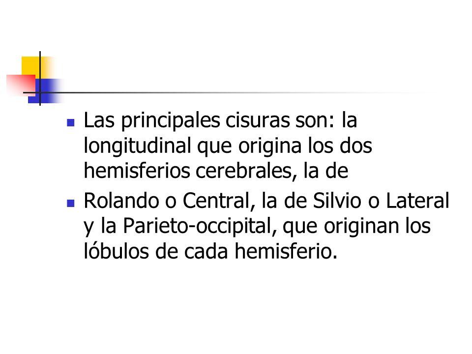 Las principales cisuras son: la longitudinal que origina los dos hemisferios cerebrales, la de