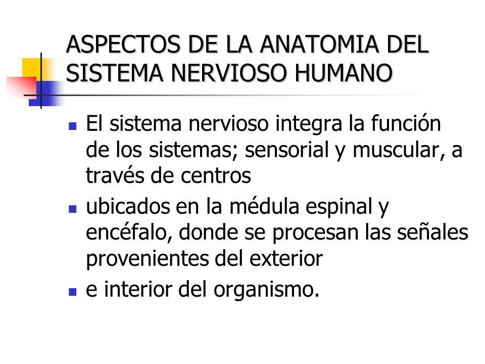 ASPECTOS DE LA ANATOMIA DEL SISTEMA NERVIOSO HUMANO