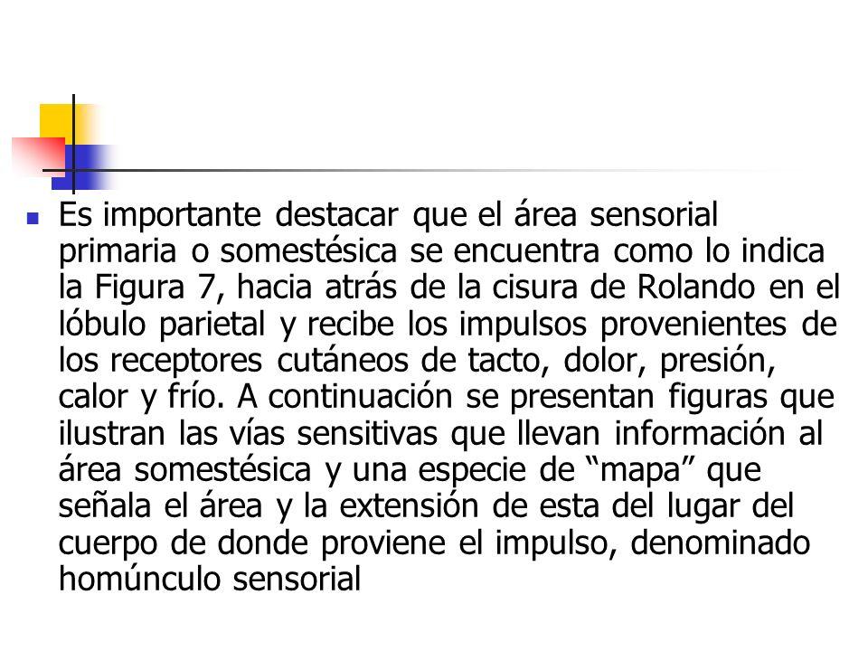 Es importante destacar que el área sensorial primaria o somestésica se encuentra como lo indica la Figura 7, hacia atrás de la cisura de Rolando en el lóbulo parietal y recibe los impulsos provenientes de los receptores cutáneos de tacto, dolor, presión, calor y frío.