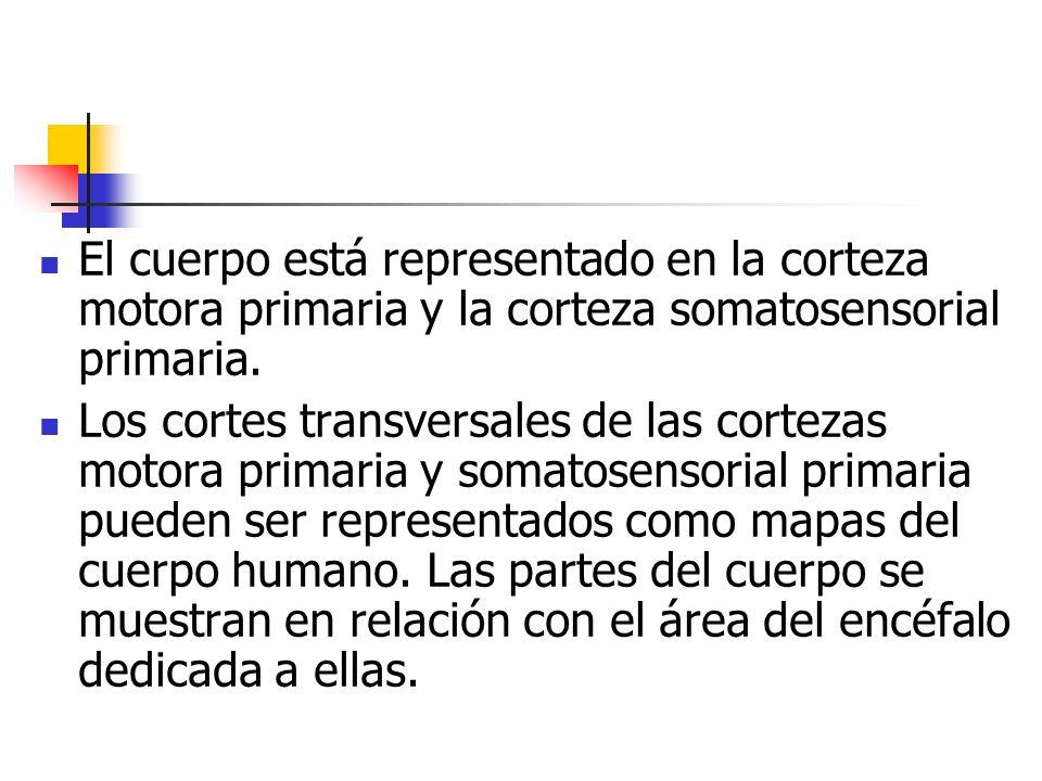 El cuerpo está representado en la corteza motora primaria y la corteza somatosensorial primaria.