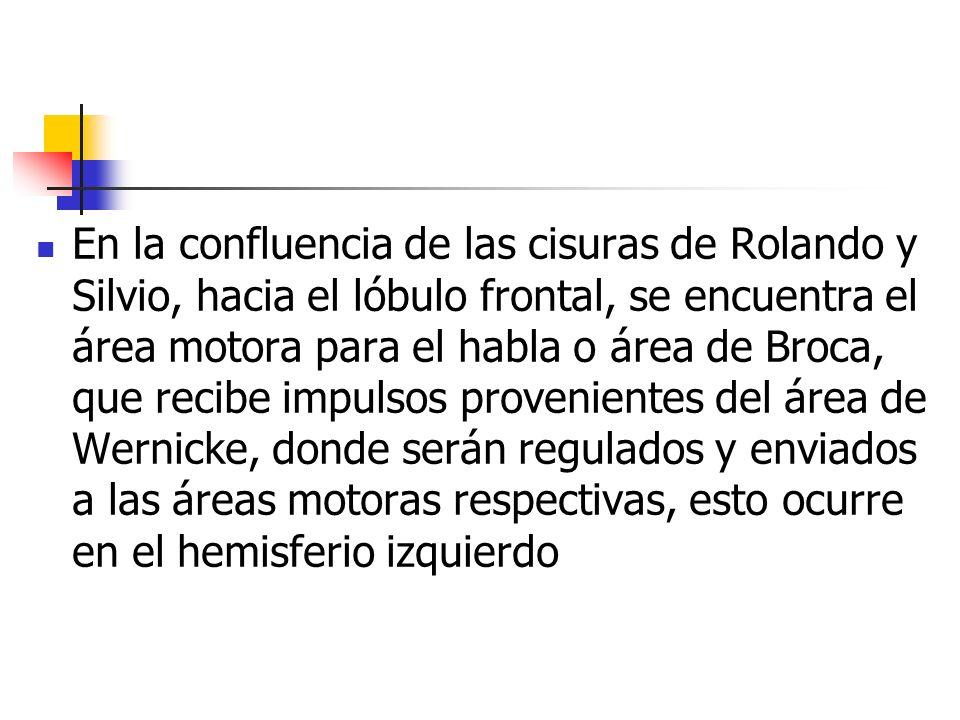 En la confluencia de las cisuras de Rolando y Silvio, hacia el lóbulo frontal, se encuentra el área motora para el habla o área de Broca, que recibe impulsos provenientes del área de Wernicke, donde serán regulados y enviados a las áreas motoras respectivas, esto ocurre en el hemisferio izquierdo