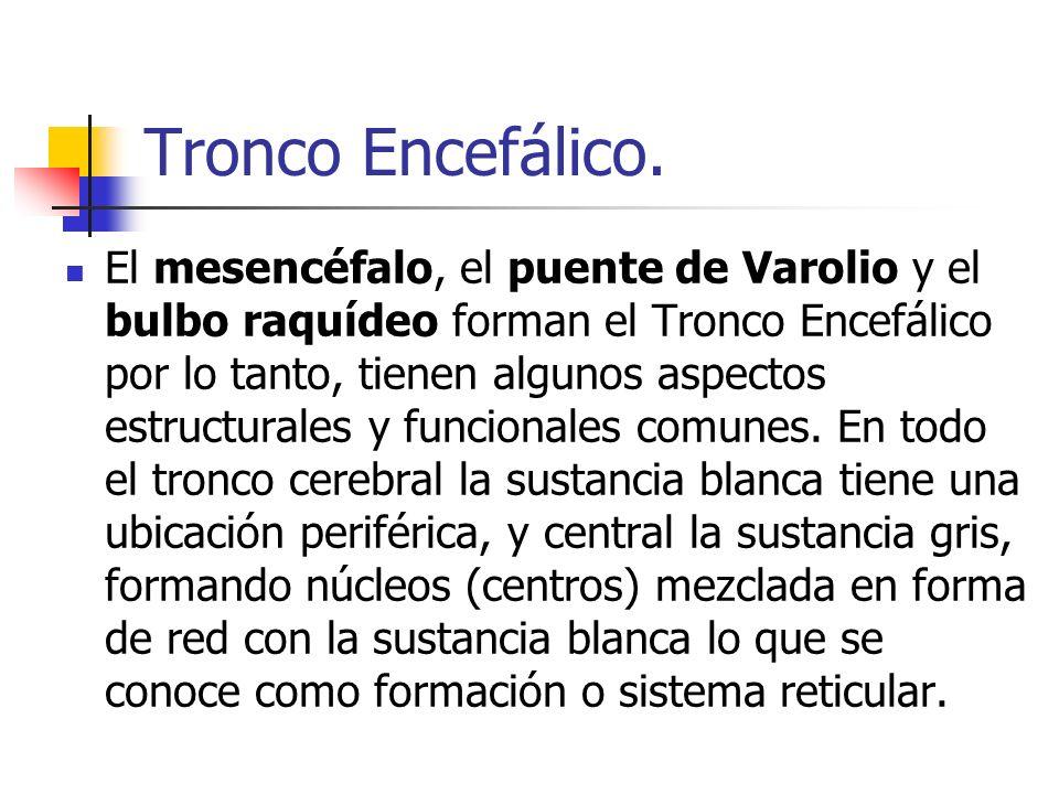 Tronco Encefálico.