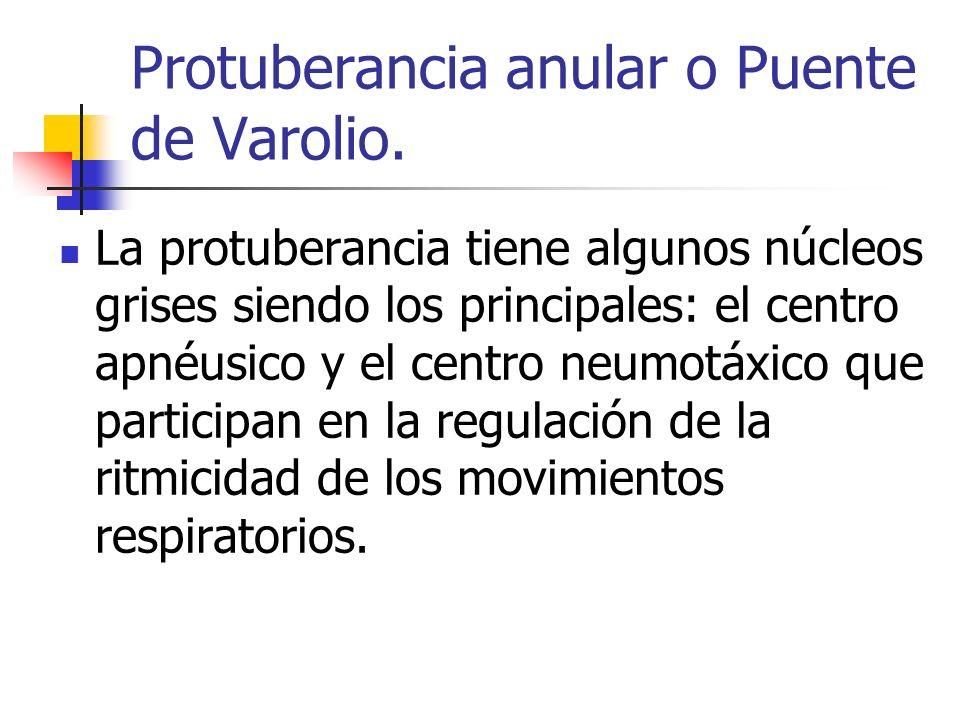 Protuberancia anular o Puente de Varolio.