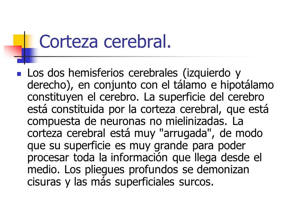 Corteza cerebral.