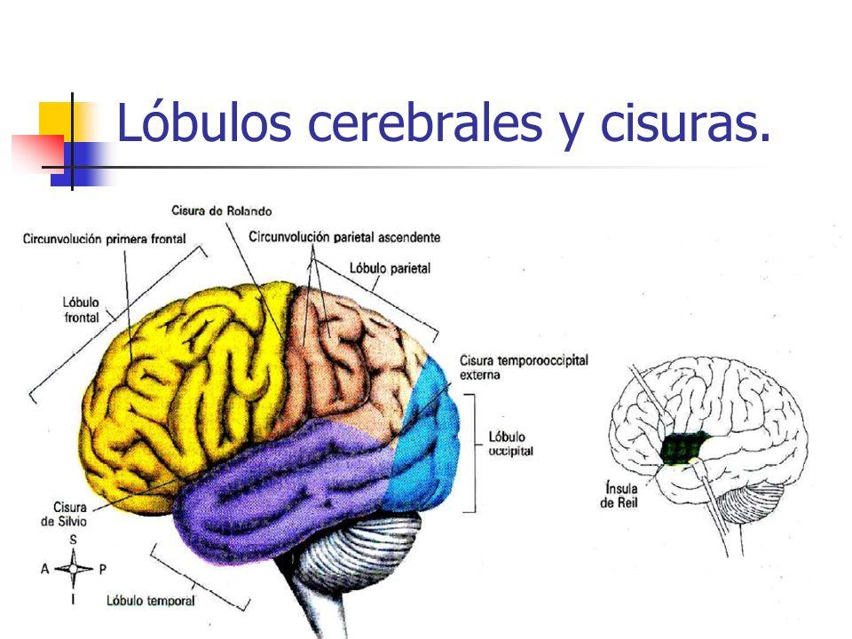 Lóbulos cerebrales y cisuras.