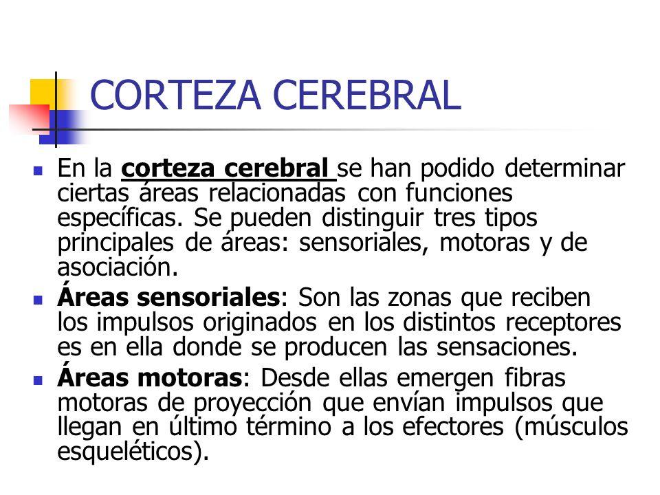 CORTEZA CEREBRAL