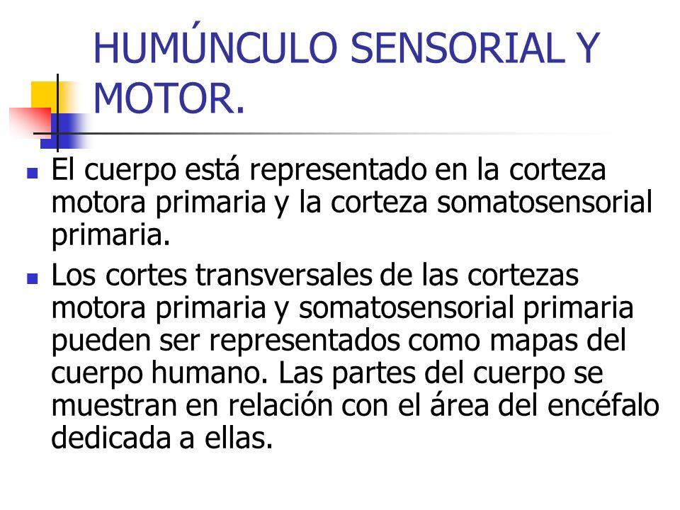HUMÚNCULO SENSORIAL Y MOTOR.