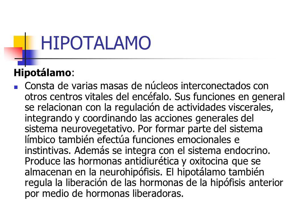 HIPOTALAMO Hipotálamo: