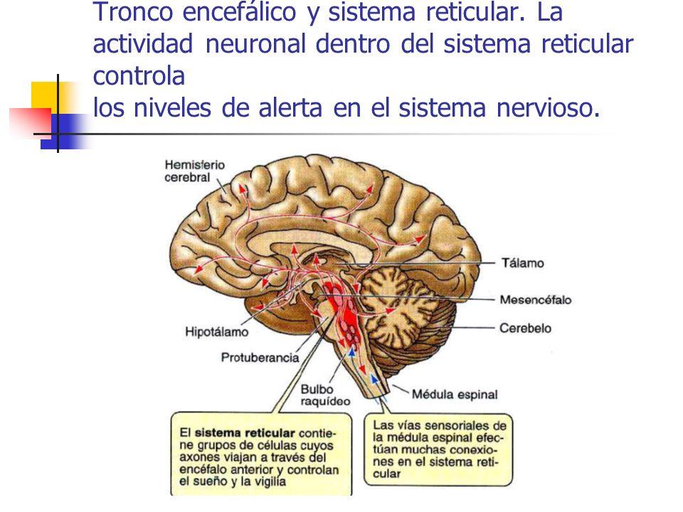 Tronco encefálico y sistema reticular