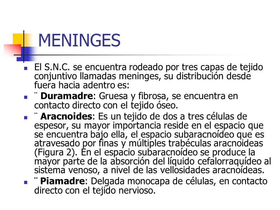 MENINGES El S.N.C. se encuentra rodeado por tres capas de tejido conjuntivo llamadas meninges, su distribución desde fuera hacia adentro es: