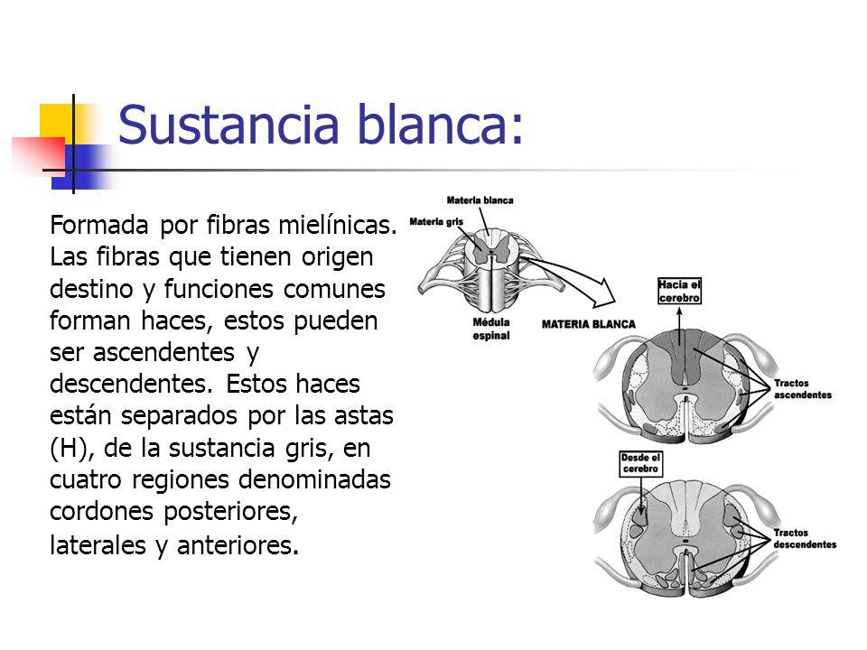 Sustancia blanca:Formada por fibras mielínicas. Las fibras que tienen origen destino y funciones comunes.