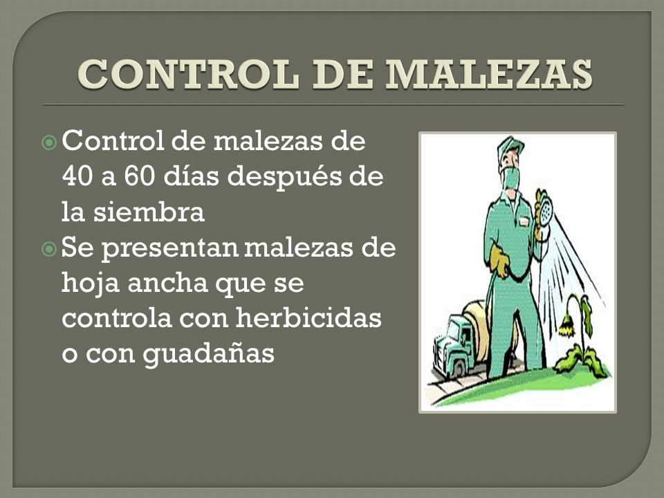 CONTROL DE MALEZAS Control de malezas de 40 a 60 días después de la siembra.