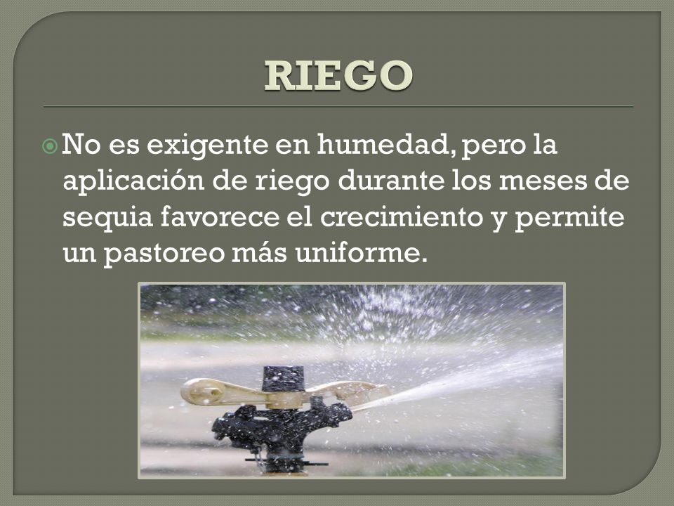 RIEGO No es exigente en humedad, pero la aplicación de riego durante los meses de sequia favorece el crecimiento y permite un pastoreo más uniforme.