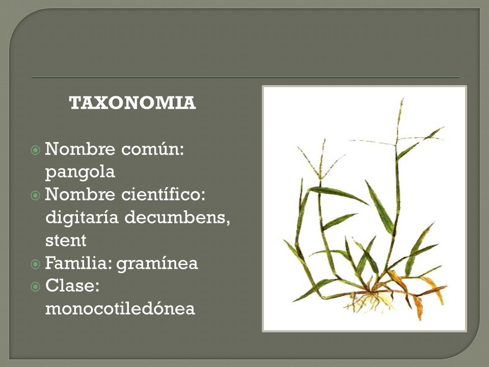 TAXONOMIANombre común: pangola.Nombre científico: digitaría decumbens, stent.
