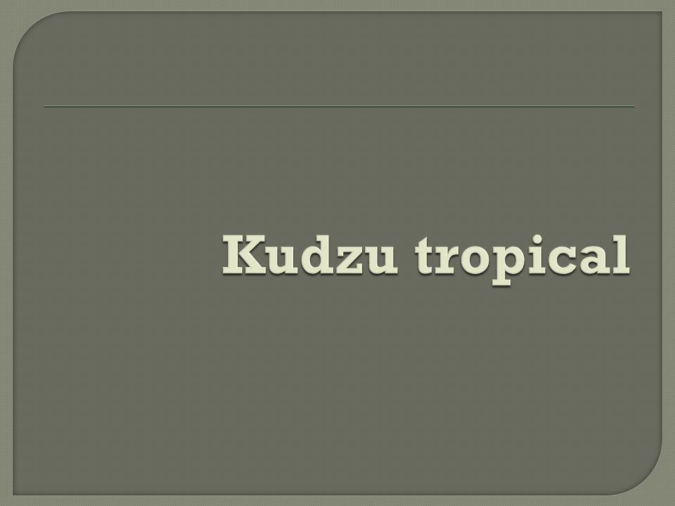 Kudzu tropical