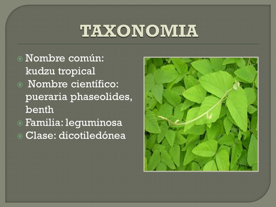 TAXONOMIA Nombre común: kudzu tropical