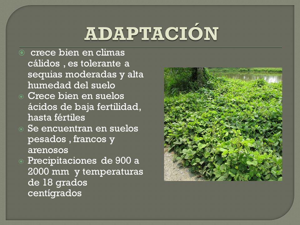 ADAPTACIÓNcrece bien en climas cálidos , es tolerante a sequias moderadas y alta humedad del suelo.