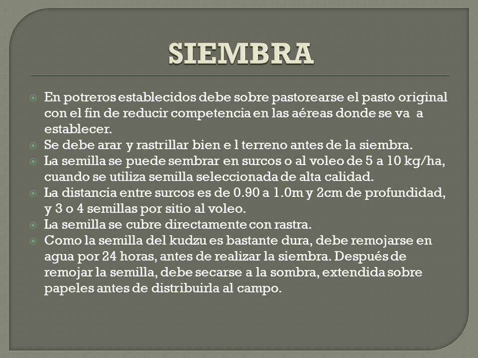 SIEMBRA En potreros establecidos debe sobre pastorearse el pasto original con el fin de reducir competencia en las aéreas donde se va a establecer.