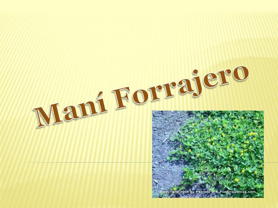 Maní Forrajero