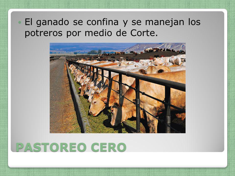 El ganado se confina y se manejan los potreros por medio de Corte.