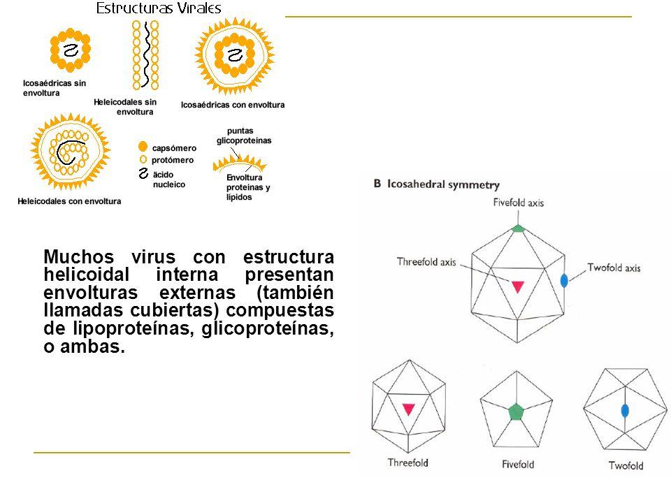 Muchos virus con estructura helicoidal interna presentan envolturas externas (también llamadas cubiertas) compuestas de lipoproteínas, glicoproteínas, o ambas.