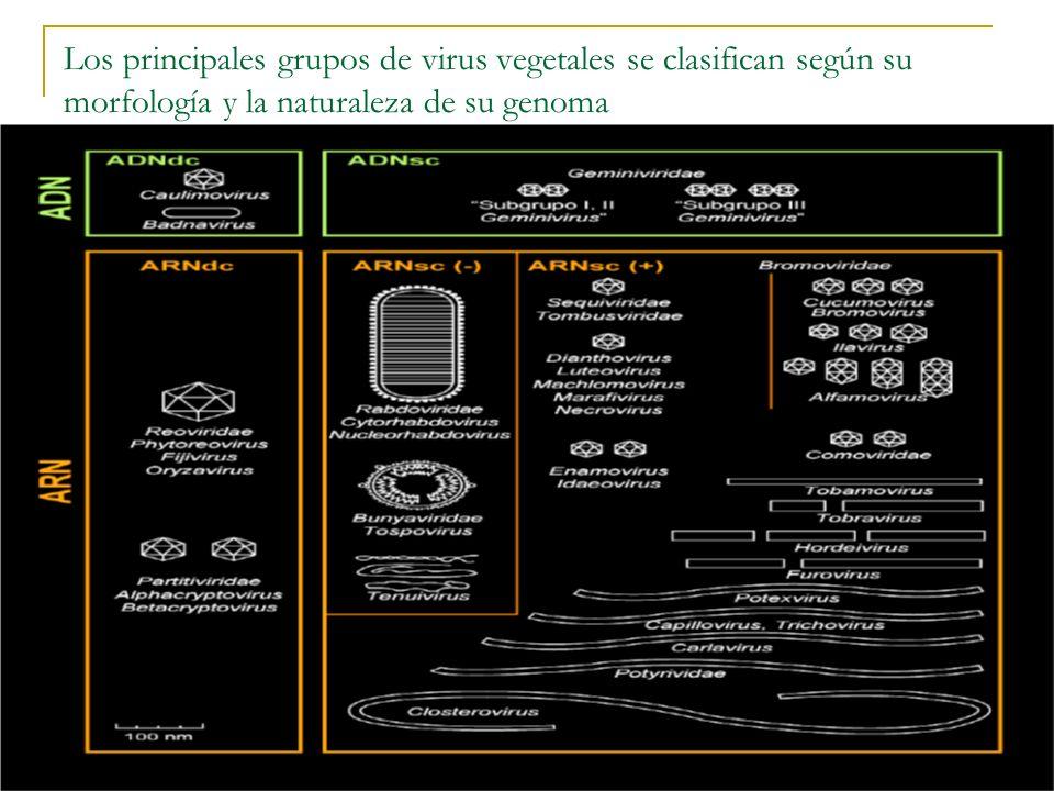 Los principales grupos de virus vegetales se clasifican según su morfología y la naturaleza de su genoma