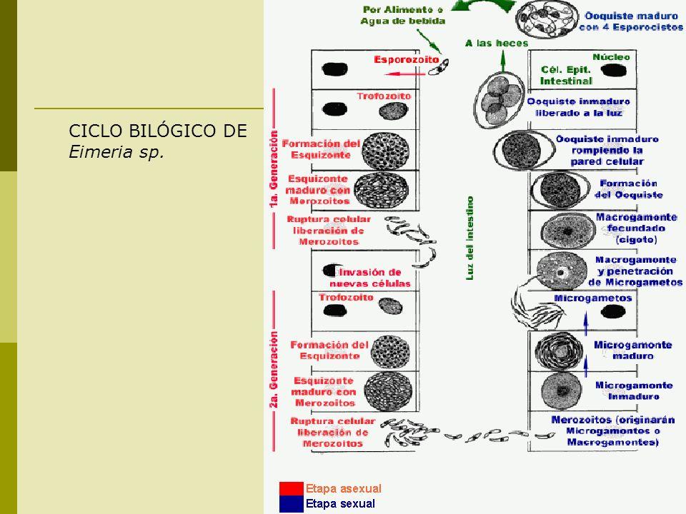 CICLO BILÓGICO DE Eimeria sp.