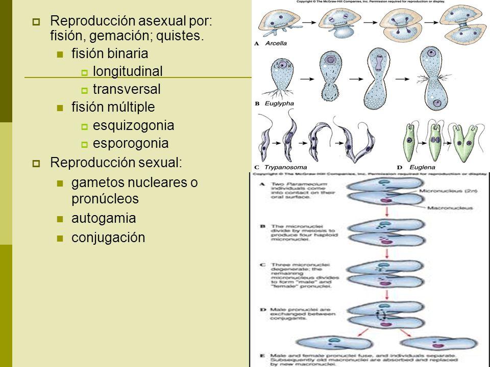 Reproducción asexual por: fisión, gemación; quistes.