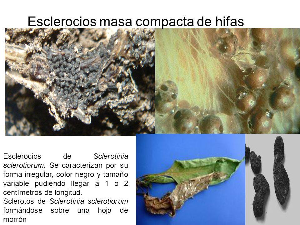 Esclerocios masa compacta de hifas
