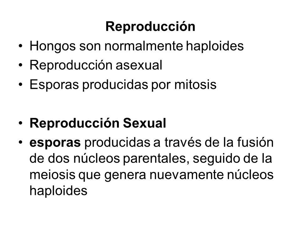 Reproducción Hongos son normalmente haploides. Reproducción asexual. Esporas producidas por mitosis.