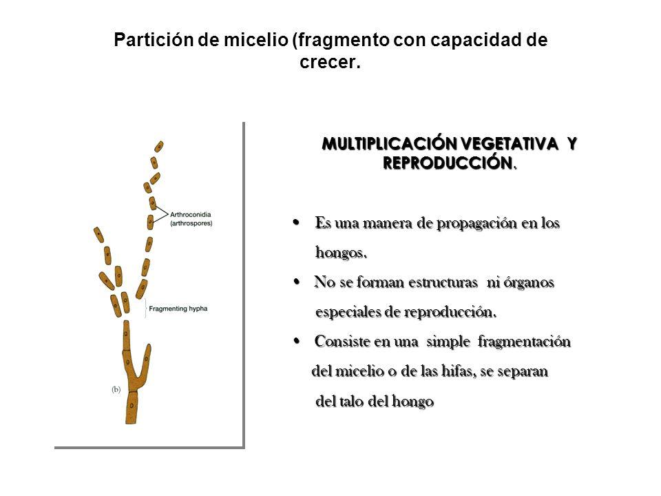 Partición de micelio (fragmento con capacidad de crecer.