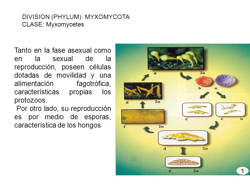 DIVISION (PHYLUM): MYXOMYCOTA