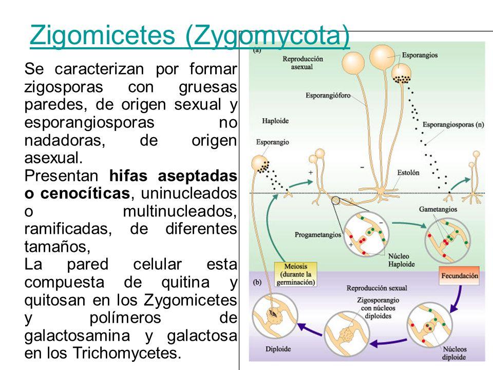 Zigomicetes (Zygomycota)