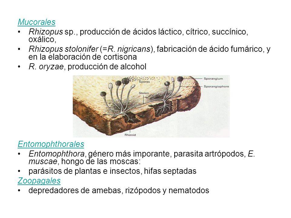 Mucorales Rhizopus sp., producción de ácidos láctico, cítrico, succínico, oxálico,