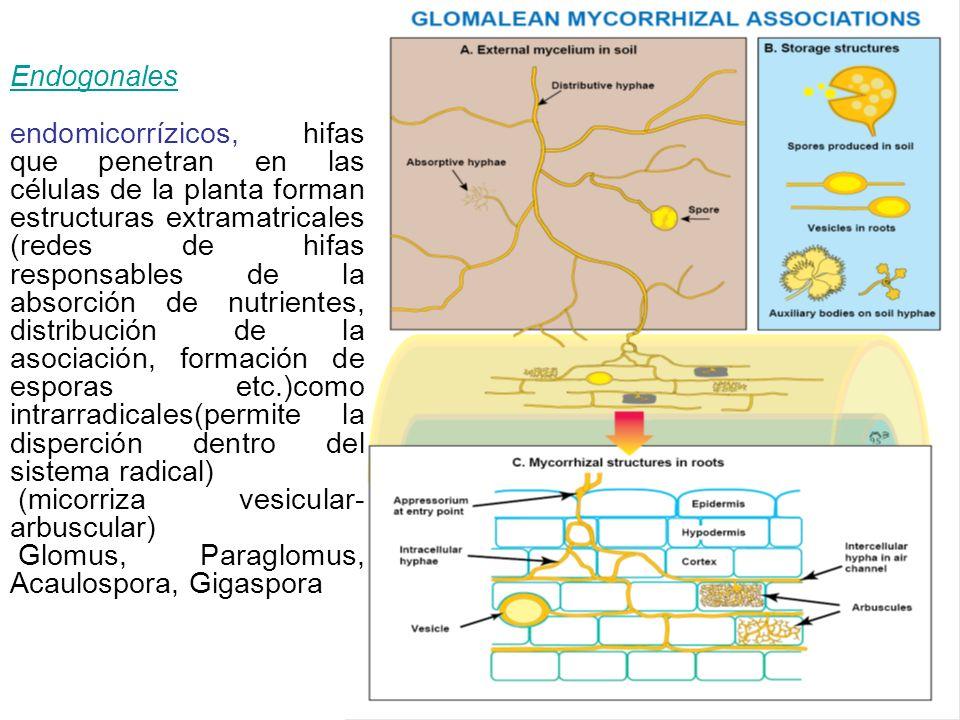 Endogonales