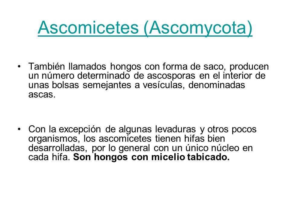 Ascomicetes (Ascomycota)