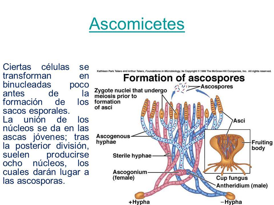 Ascomicetes Ciertas células se transforman en binucleadas poco antes de la formación de los sacos esporales.