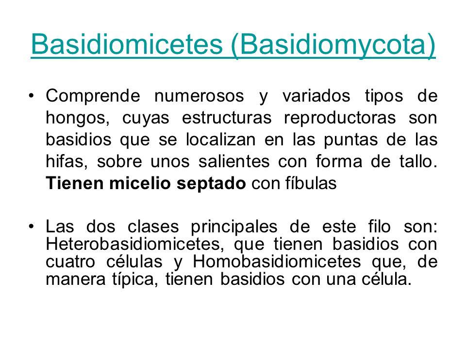 Basidiomicetes (Basidiomycota)