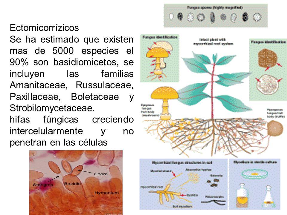 Ectomicorrízicos