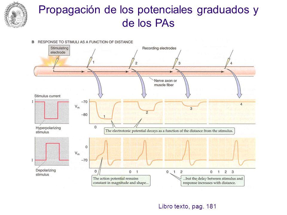 Propagación de los potenciales graduados y de los PAs