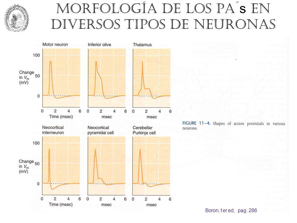 Morfología de los PA´s en diversos tipos de neuronas